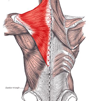 Трапецовиден мускул