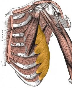 Преден зъбчат мускул
